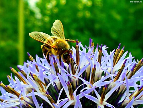 Biene – Bee