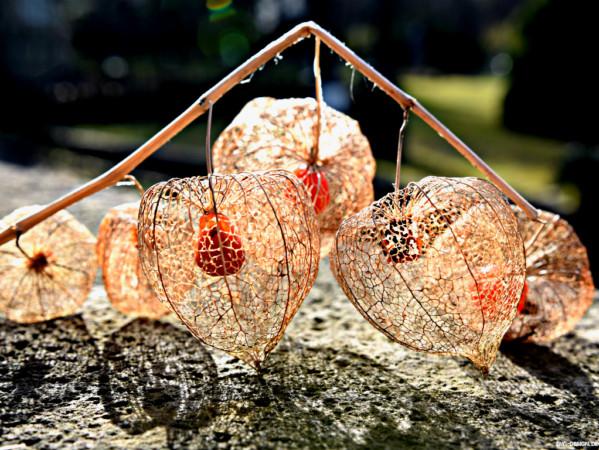 Lampionblume – chinese lantern